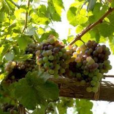 El Catador - Bodega de vin à Ica