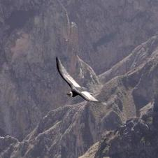 Mirador Cruz Del Condor - Canyon de Colca - Arequipa