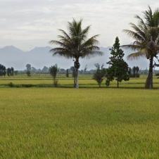 Rizières à Chiclayo