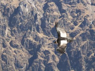 The Colca Canyon and condors